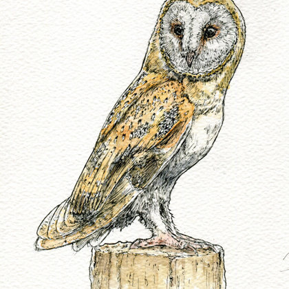 Barn Owl. Ink pen and watercolour. All rights reserved.