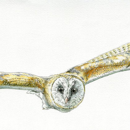 Flying Barn Owl. Ink pen and watercolour. All rights reserved.