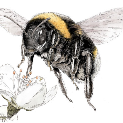 Bee over blackthorn flower. Ink pen and inks. All rights reserved.