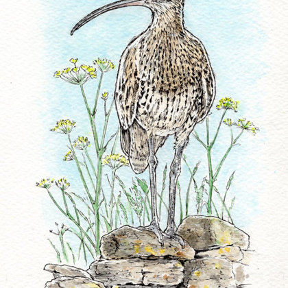 Curlew on Wall. Ink pen and watercolour. All rights reserved.