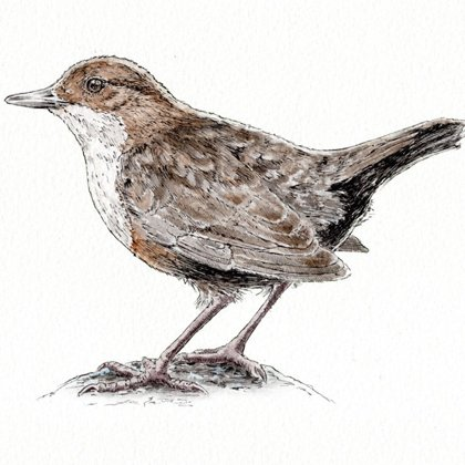 Dipper. Ink pen and watercolour. All rights reserved.