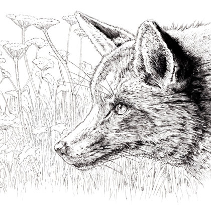 Fox amoung umbellifers, Ink pen. All rights reserved.