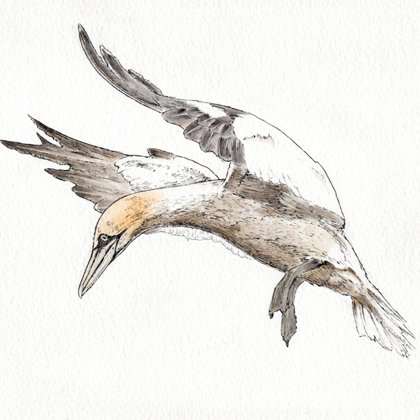 Gannet. Ink pen and watercolour. All rights reserved.