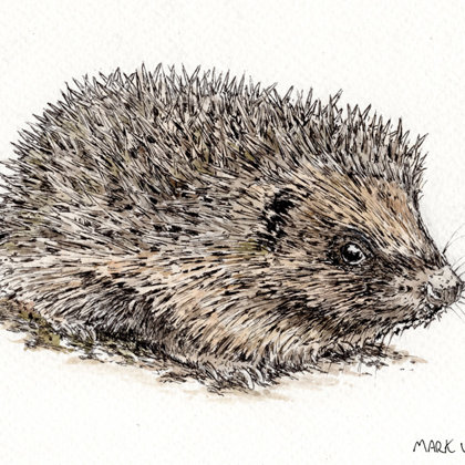 Hedgehog. Ink pen and watercolour. All rights reserved.