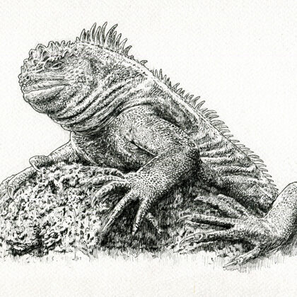 Marine Iguana. All rights reserved.
