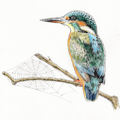 Kingfisher. Ink pen and watercolour. All rights reserved.