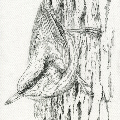 Treecreeper. Ink pen and watercolour. All rights reserved.