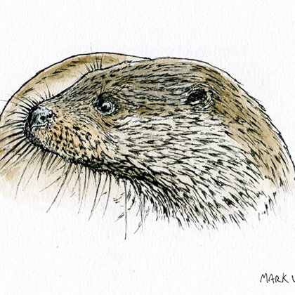 Otter. Ink pen and watercolour. All rights reserved.