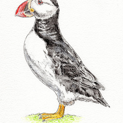 Puffin. Ink pen and watercolour. All rights reserved.