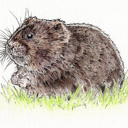Water Vole. Ink pen and watercolour. All rights reserved.