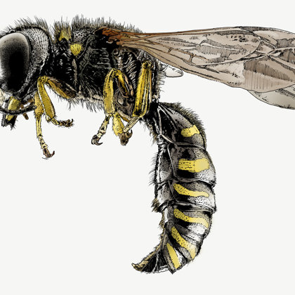 Wasp. Ink pen and inks. All rights reserved.