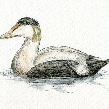 Eider.  Ink pen and watercolour. All rights reserved.